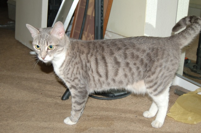 Light Gray Tabby Cat Found In Clark Park West Philly Local